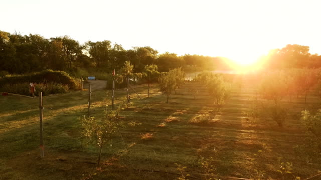 Aerial view of apple orchard, vegetable garden and reflective lake at sunset video