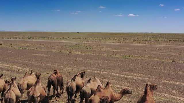 luftaufnahme der gruppe der baktrianischen kamele in der steppe - afrikanische steppe dürre stock-videos und b-roll-filmmaterial
