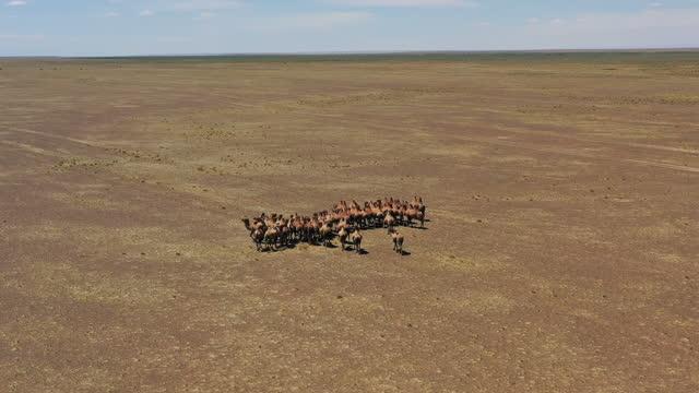 luftaufnahme von bakterianischen kamelen in der mongolei - afrikanische steppe dürre stock-videos und b-roll-filmmaterial