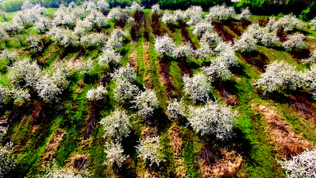 Aerial view of beautiful blossoming apple-tree garden video