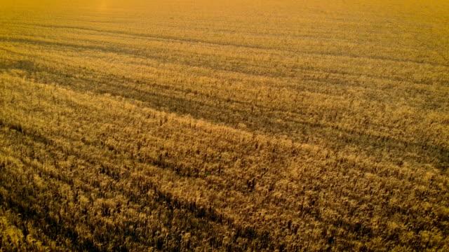Aerial utsikt över vackra bilder av mogna korn i gyllene fältet i landsbygden video