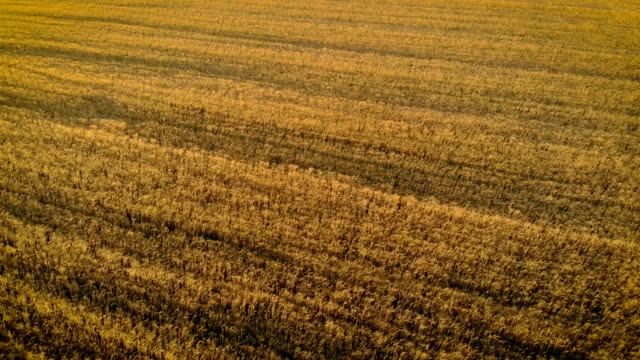 Aerial view of beautiful shots of ripe wheat in Golden field in countryside