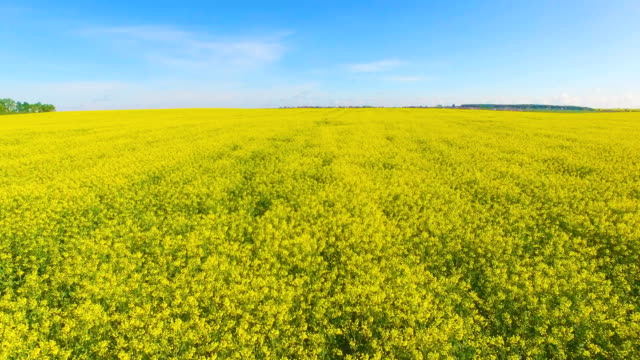 aerial view of blooming rape fields and blue sky - colza video stock e b–roll