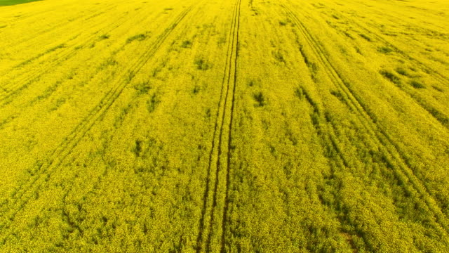 Aerial view of blooming rape fields video