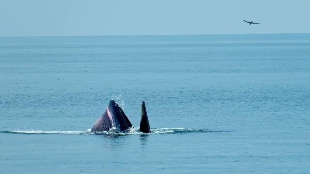 vidéos et rushes de vue aérienne de rorquals de bryde à ban bang tabun, province de phetchaburi dans le golfe de thaïlande - baleine