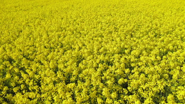 Aerial view of canola field and tracks from tractor. Beautiful agricultural texture or background of summer agriculture landscape. canola farm from above. Aerial view of canola field and tracks from tractor. Beautiful agricultural texture or background of summer agriculture landscape. canola farm from above. biofuel stock videos & royalty-free footage