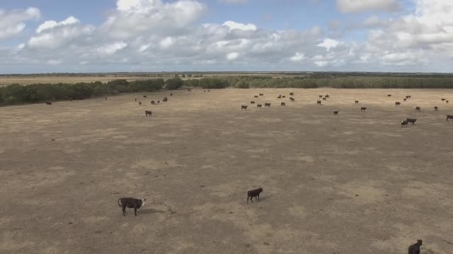 Aerial view of cattle group of cows in Australia farms video