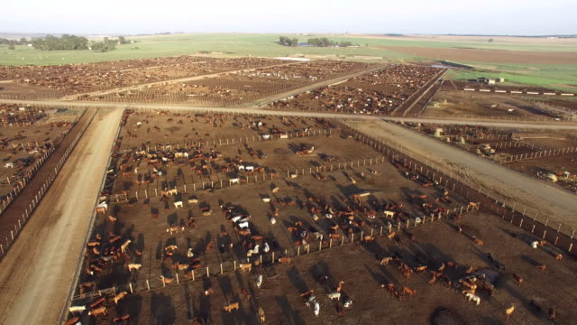 aerial view of cattle in a feedlot - ранчо стоковые видео и кадры b-roll