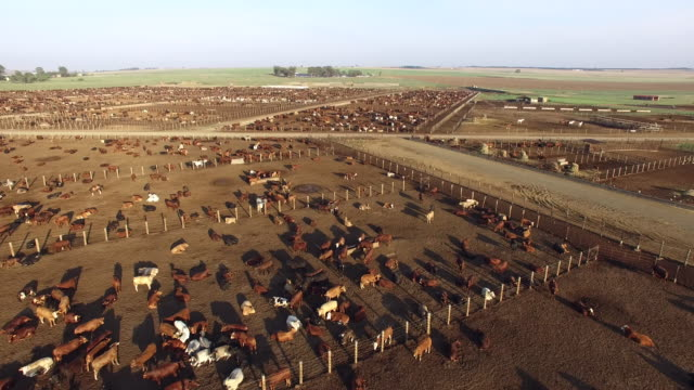 Aerial view of cattle in a feedlot