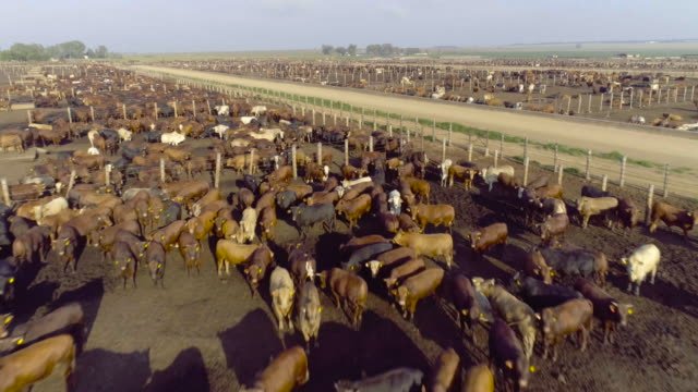 Aerial view of cattle in a feedlot video