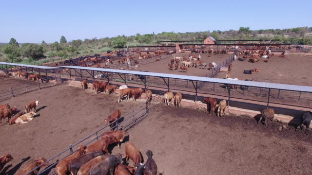 aerial view of cattle in feedlot - farm animals stock videos and b-roll footage