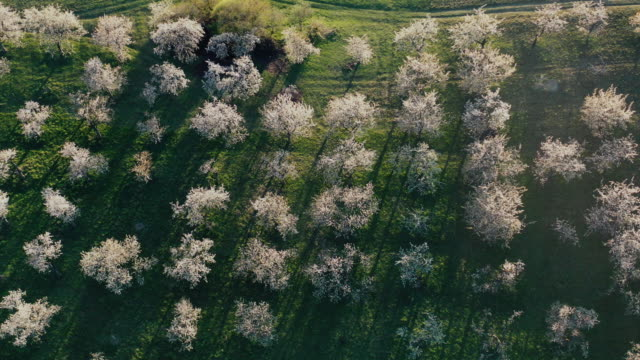 aerial view of cherry tree orchards blossoming in spring Aerial View of blossoming orchard in spring. Apple Tree and Cherry Tree seen from above orchard stock videos & royalty-free footage