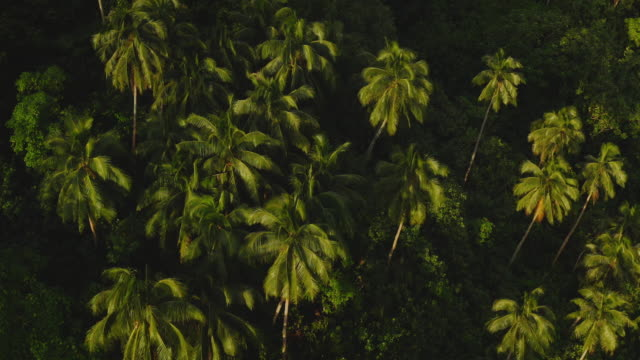 Aerial view of coconut palm trees Aerial view of island palm trees in golden afternoon sunlight, island vibes, aerial view of coconut palm trees coconut stock videos & royalty-free footage