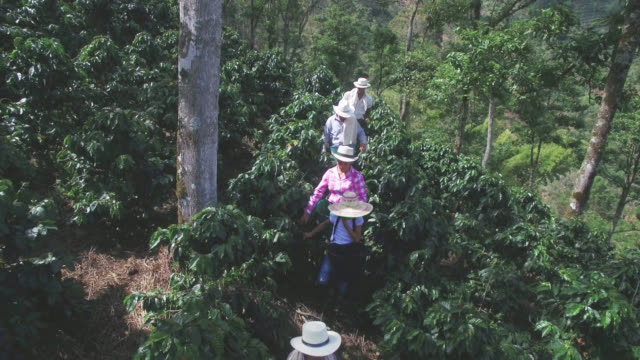 aerial view of colombian family collecting coffee beans - coffee farmer video stock e b–roll