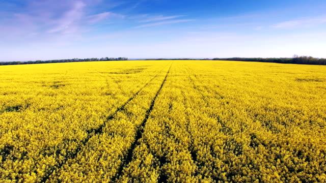 brassica rapa var. oleifera vista aerea di campo di fiori gialli e cielo blu. - canola video stock e b–roll