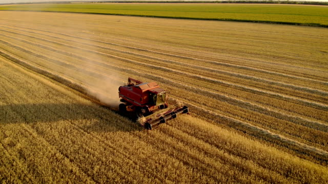 Aerial view of combine harvester mows barley cutting with scissors dry spike in field