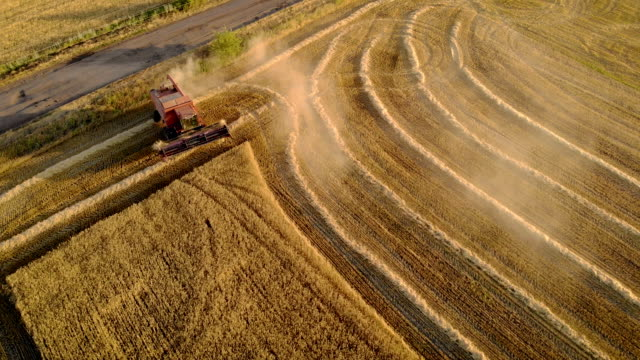 Aerial view of combine harvester removes ripened wheat and makes turn in field leaving behind stack of dry straw Aerial view of combine harvester removes ripened wheat and makes turn in field leaving behind stack of dry straw. Drone shot of autumn agricultural work and concept of food industry barley stock videos & royalty-free footage