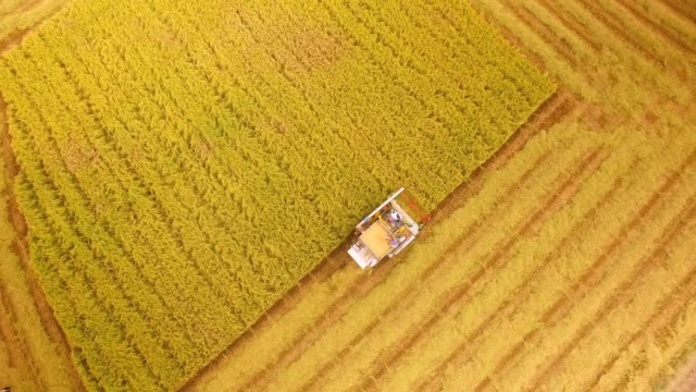 Aerial view of combine on harvest field in Ayutthaya, Thailand Aerial view of combine on harvest field in Ayutthaya, Thailand wheat stock videos & royalty-free footage