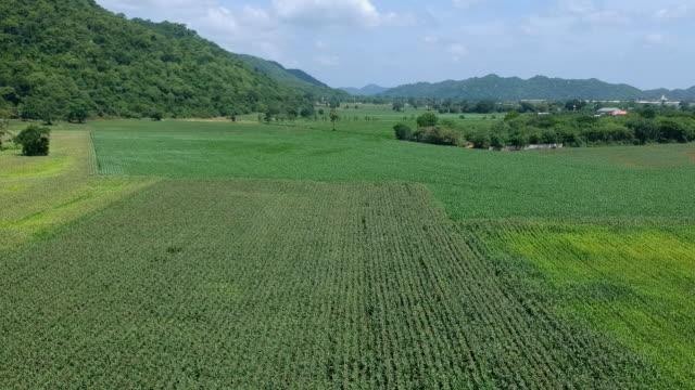 vídeos de stock e filmes b-roll de aerial view of corn field - multicóptero