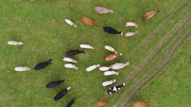 Aerial view of cows directly below video
