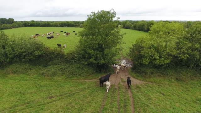 vidéos et rushes de vue aérienne de vaches passer d'un champ à l'autre - vache laitière