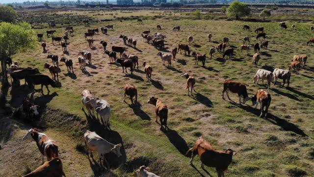 vídeos de stock e filmes b-roll de aerial view of cows in field - rancho quinta