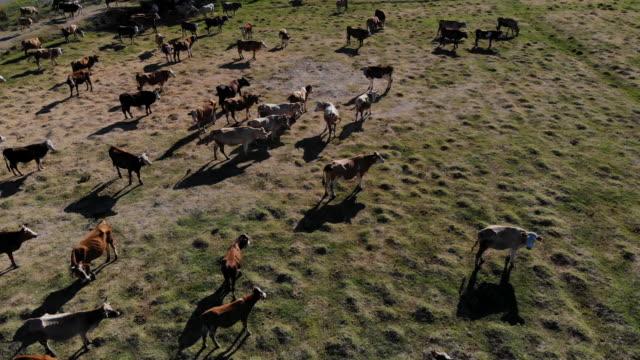 フィールド内の牛の航空写真 - ウシ点の映像素材/bロール