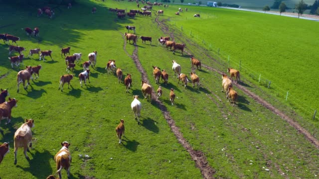 Aerial view of cows in Germany video