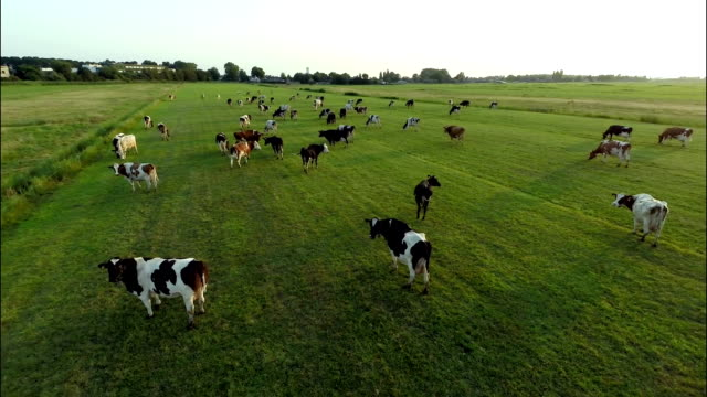 Aerial view of cows running in field Hovering over a group of cows in a green field. pasture stock videos & royalty-free footage