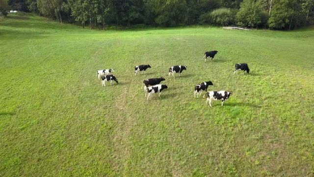 aerial view of dairy cows herd on meadows at sunrise - ранчо стоковые видео и кадры b-roll
