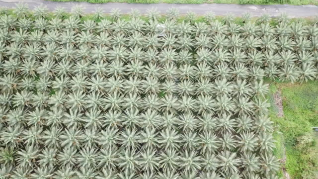 vídeos de stock e filmes b-roll de aerial view of date palm tree in the plant - oleo palma