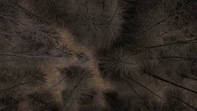 Aerial view of dead pine forest, looping 3D animation