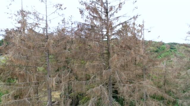 aerial view of dead trees - forest dieback - waldsterben - obszar zadrzewiony filmów i materiałów b-roll