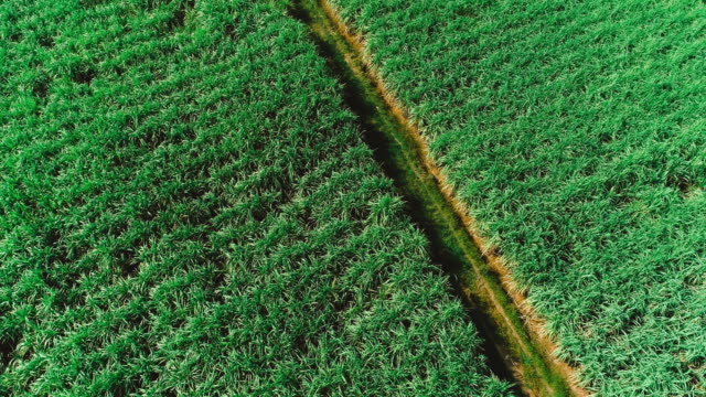 aerial view of drone fly over of sugar cane field sunset. - canna da zucchero video stock e b–roll