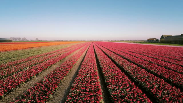 Aerial view of Dutch Tulips from the Netherlands A great aerial view of a tulip field in the Netherlands. tulip stock videos & royalty-free footage