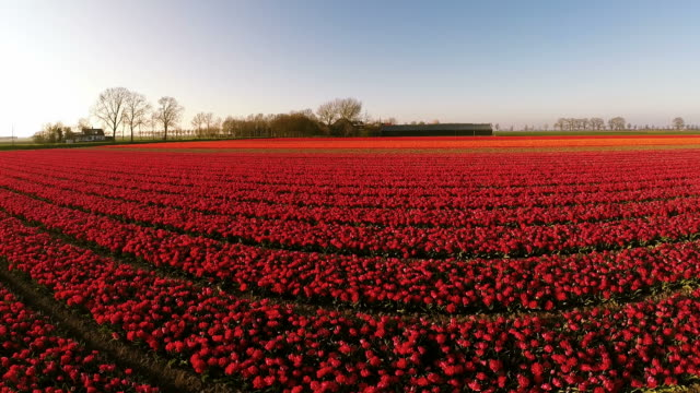 Aerial view of Dutch Tulips from the Netherlands video