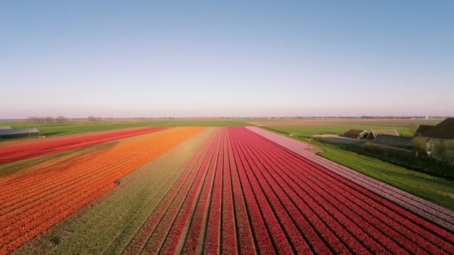 Aerial view of Dutch Tulips from the Netherlands
