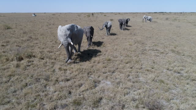 Aerial view of elephants walking across the grassy plains of Botswana video