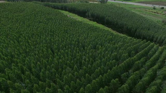 flygfoto över eucalyptusskogen, sao paulo, brasilien - eucalyptus leaves bildbanksvideor och videomaterial från bakom kulisserna
