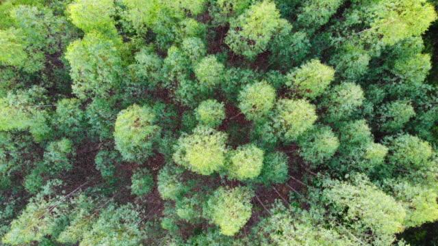 flyg utsikt över eucalyptus forest. - eucalyptus leaves bildbanksvideor och videomaterial från bakom kulisserna