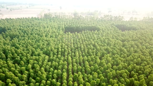 Aerial view of eucalyptus tree in the plant