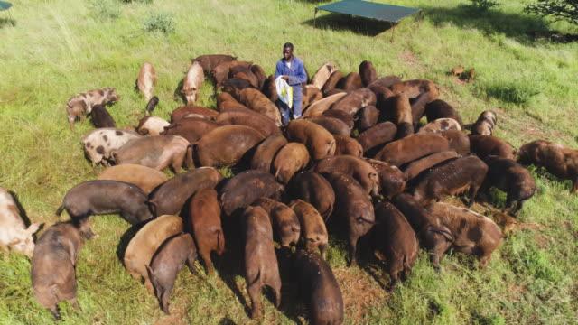 vídeos de stock e filmes b-roll de aerial view of farm worker feeding free range pigs - gado animal doméstico
