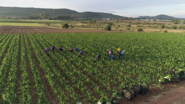 4K aerial view of farm workers cutting and packing spinnach on a large scale vegetable farm