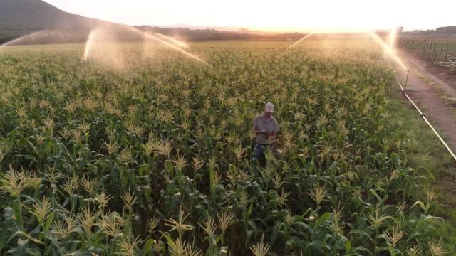 vídeos y material grabado en eventos de stock de vista aérea del granjero utilizando una tableta digital y seguimiento de un cultivo de maíz irrigado - plantación