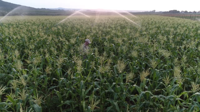 dijital tablet kullanma ve bir sulu mısır ürün izleme çiftçinin havadan görünümü - bir orta yetişkin erkek sadece stok videoları ve detay görüntü çekimi