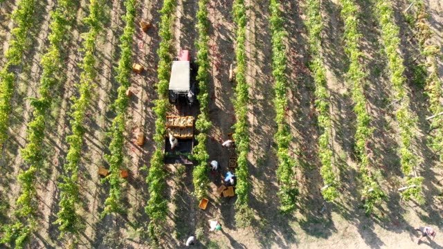 vídeos de stock e filmes b-roll de aerial view of farmers working in the vineyard- south of italy - grapes
