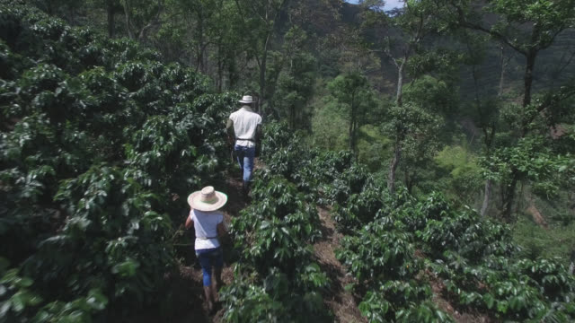 aerial view of father and daughter walking through the coffee harvest - coffee farmer video stock e b–roll