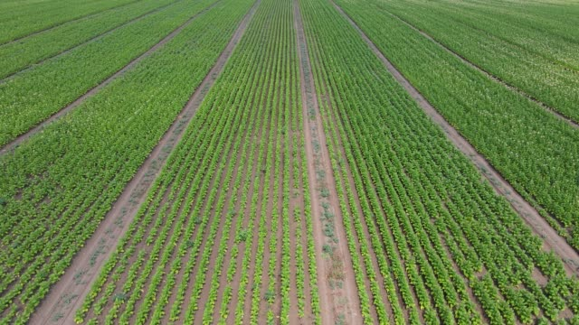 aerial view of field growing tobacco - nicotina video stock e b–roll