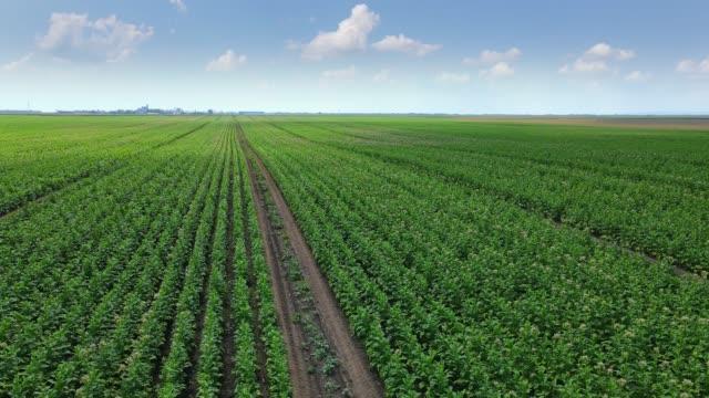 veduta aerea del tabacco da coltivazione sul campo - nicotina video stock e b–roll