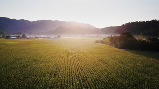 Video Aerial View of Field of Wheat in Oregon at Sunrise